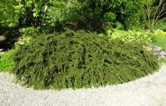 Кизильник горизонтальный <br>Cotoneaster horizontalis