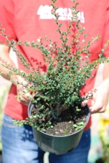 Cotoneaster horizontalis 3 года (сентябрь)