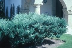 Можжевельник средний пфитцериана Глаука Juniperus media pfitzeriana Glauca