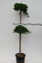 Juniperus procumbens Nana плакучий 2шара штамб 0,5-0,6м вис.1,3-1,6м
