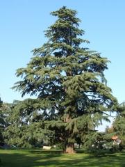 Кедр гималайский