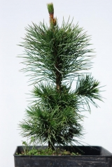 Сосна остистая / Pinus aristata