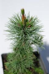 Pinus aristata (Сосна остистая)