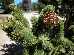 Pinus aristata фото