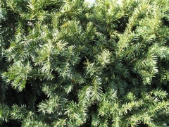 Тисс средний Дензиформис Taxus media Densiformis фото