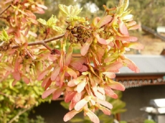 Acer rubrum October Glory Киев