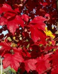 Клён красный October Glory Купить