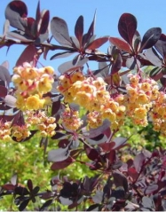 Барбарис оттавский Аурикома <br>Барбарис оттавський Аурікома <br>Berberis ottawensis Auricoma