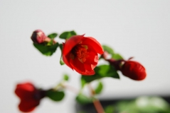 Айва средняя японская хеномелес Кримсон энд Голд