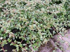 Cotoneaster Coral Beauty листья