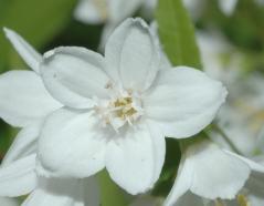 Дейция изящная цветок