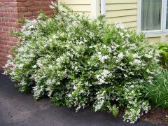 Deutzia gracilis фото