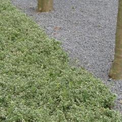 Бересклет Арлекин почвопокровное растение