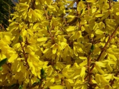 Forsythia x intermedia Golden Times