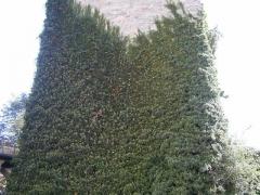 Плющ обыкновенный Арборесценс Hedera helix Arborescens Плющ звичайний Арборесценс