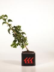 Гортензия черешковая Hydrangea anomala Petiolaris возраст 2 года