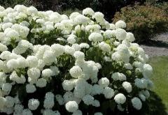 Hydrangea arborescens Annabelle Киев