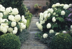 Гортензия древовидная Аннабель Hydrangea arborescens Annabelle Киев