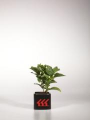 Гортензия крупнолистная Сибилла Hydrangea macrophylla Sibilla  возраст 2 года