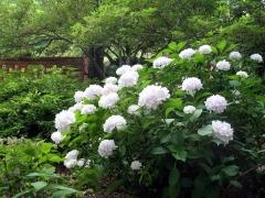 Гортензия крупнолистная Соер Терез Hydrangea macrophylla Soeur Therese Гортензія крупнолиста Соєр Терез