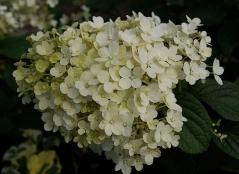 Hydrangea paniculata Bobo® фото