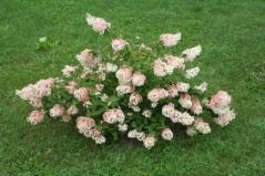Hydrangea paniculata Grandiflora Киев