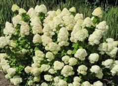 Гортензия метельчатая Лаймлайт PBR/® <br>Hydrangea paniculata Limelight PBR/®<br>Гортензія метельчата Лаймлайт PBR/®