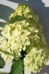 Гортензія метельчата Limelight PBR/®