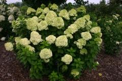 Hydrangea paniculata Limelight PBR Киев