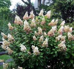 Гортензия метельчатая Пинки Винки Hydrangea paniculata Pinky Winky Гортензія метельчата Пінкі Вінкі