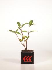 Hydrangea paniculata Pinky Winky PBR/® возраст 2 года