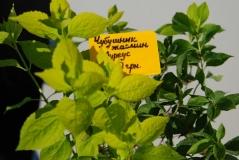 Жасмин садовый / Чубушник венечный Ауреус