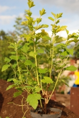 Physocarpus opulifolius Dart's Gold 3 года (сентябрь)