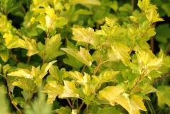 Пузыреплодник калинолистный Дартс Голд / Physocarpus opulifolius Dart's Gold