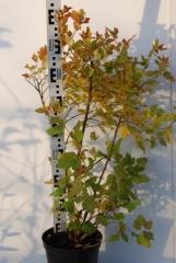 Пузыреплодник калинолистный Дартс Голд 4 года осенью