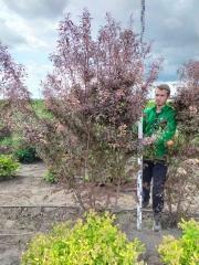 Prunus cerasifera Hessei