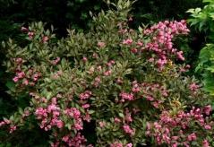 Вейгела квітуча Нана Пурпуреа