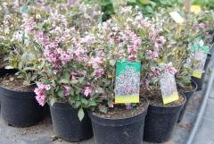 Вейгела цветущая Нана Пурпуреа (розовая)