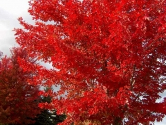 Клён красный - листья осенью ярко-красные, оранжевые.