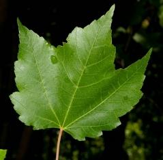летом у Клёна красного листья темно-зеленые