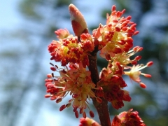 Цветы Клёна красного