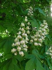 соцветия Aesculus Hippocastanum