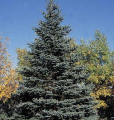 Picea pungens Erich Frahm