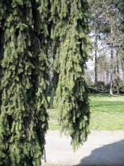Picea abies Rothenhaus