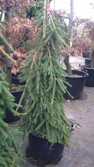 Picea abies Frohburg