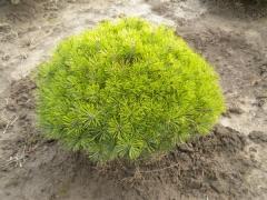 Pinus densiflora Jane Kluis / Сосна густоквiткова Жан Клаус