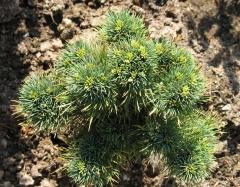 Сосна горная Кобольд <br>Сосна гiрська Кобольд<br>Pinus mugo Kobold