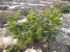 Pinus mugo Kobold