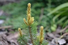 Pinus mugo Pal Maleter