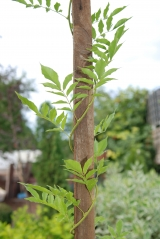 Вистерия китайская Пролифик / Wisteria formosa Isai Perfect / Wisteria sinensis Prolific